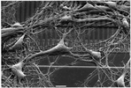 Transistor Probes Local Potassium Conductances in the Adhesion Region of Cultured Rat Hippocampal Neurons