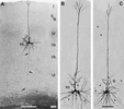 Biocytin stained layer Va pyramidal neurons in rat barrel cortex